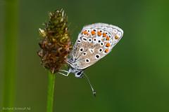 _ZAA4159 (De Hollena) Tags: blauwtje bläuling butterfly mariposa papillon schmetterling vlinder