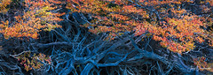 Twisted Lenga (Jerzy Orzechowski) Tags: leaves patagonia lengatree mountfitzroy argentina blue branches orange trees