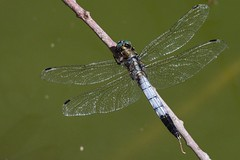 Orthetrum albistylum (Marc ALMECIJA) Tags: insecte insect libellule dragonfly nature natur outdoor outside panasonic g9 100400 camargue gard scamandre wildlife macro proxi