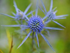 Blue Star (memories-in-motion) Tags: 2019 slowenien soca blue star flower slovenia alpen mountain blossom funji gfx 50r ef100mmf28lmacro canon techart nature alpengarten edeldistel mannstreu