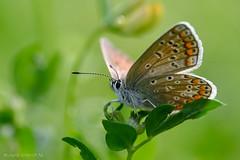 Polyommatus icarus (De Hollena) Tags: blauwtje bläuling butterfly mariposa papillon schmetterling vlinder polyma hauhechelbläuling polyommatusicarus icarusblauwtje commonblue
