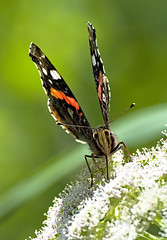 Red Admiral 5 13 Aug 2019 (Tim Harris1) Tags: nikond7100 nikkor80400afs norfolk sculthorpemoor redadmiral butterfly insect animal