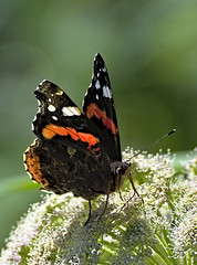 Red Admiral 2 13 Aug 2019 (Tim Harris1) Tags: nikond7100 nikkor80400afs norfolk sculthorpemoor redadmiral butterfly insect animal