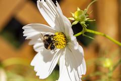 Pollinator (Blue Rock Fox) Tags: flower flowers bee bees pollinate summer pollination pollinator petals nature yellow white garden outside stem macro wings pollen stamen light sun sunlight