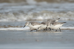 Sanderling (robin elliott photography) Tags: sanderling calidrisalba bird birds nature wild wildlife water sea