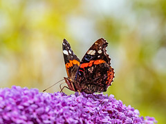 Red Admiral Butterfly (niloc's pic's) Tags: redadmiral vanessaatalanta butterfly lepidoptera insect bexhillonsea eastsussex panasonic lumix dcg9