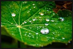 ... Rain - Drops ... (tingel79) Tags: outdoor blatt leaf tropfen drops raindrop regentropfen reflection natur nature photograph photographie photography sonyalpha58 germany day art foto garden