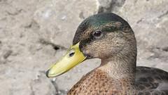 Mallard (Deanne Wildsmith) Tags: lichfield darwinpark staffordshire bird mallard duck earthnaturelife