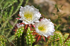 Argentine giant cactus blooms (Monkeystyle3000) Tags: argentine giant cactus blooms flower desert