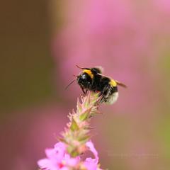 Hello! (Teranique Impressions) Tags: teranique teraniqueimpressions bumblebee macro macrophotography insect pink garden nature smileonsaturday bee beeautiful