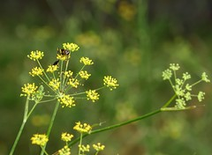 un faccia a faccia coi baffi :) (fotomie2009) Tags: ombrellifere vespa umbellifers ombrellifera umbelliferae yellow wild wildflower nature spontaneous spontaneo flora flower fiore insect insecta insetto wasp pastinaca sativa apiaceae parsnip anethum