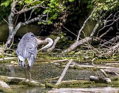 Great Blue Heron (will139) Tags: nature wildlife heron ardeidae herodias fowl waterbird ardeaherodias animal animalsinthewild beauty avian ornithology beak fauna water wading