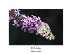 Vanessa cardui - Distelfalter (ernst.ruhe) Tags: fotosvonernstruhe insektenmakro insektenmakros makros makro makroaufnahmen makroaufnahme insecta insekten lepidoptera schmetterlinge edelfalter vanessacardui distelfalter