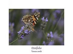 Vanessa cardui - Distelfalter (ernst.ruhe) Tags: schmetterlinge lepidoptera vanessacardui edelfalter fotosvonernstruhe makros makro insektenmakro insekten insektenmakros insecta
