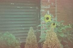 Sunflower pt2 (bailey_bliss1) Tags: film 35mm minolta 7000 minolta7000 kodak ektachrome expired kodakektachromeexpired