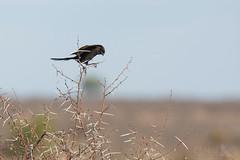 Magpie Shrike (Ben Locke.) Tags: magpieshrike bird birds wild wildlife nature africa southafrica