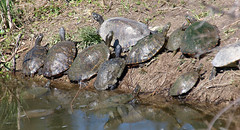 Group Shot (Kaptured by Kala) Tags: whiterocklake dallastexas creekbetweenthelowerspillwaystepsandthespillway turtle waterturtle aquatic aquaticturtle mud reflection herp reptile climbing swimming