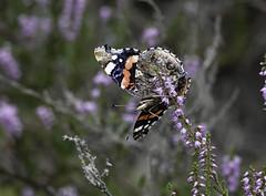 De Atalanta vlinder / The Red Admiral (Wilmeij) Tags: vlinder butterfly atalanta redadmiral nature natuur netherlands macro closeup heide