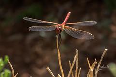 amie du jour (jean milande) Tags: libellule plante ailes nature