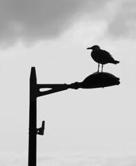 Le Havre - Goéland urbain (Philippe Aubry) Tags: lehavre oiseau goéland