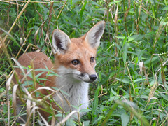 Young Fox (annette.allor) Tags: red fox vulpes renard kit grass woods portrait closeup