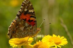Painted Lady Butterfly on Common Fleabane at Whiteley Woods, Hampshire, UK (Art-G) Tags: insect butterfly paintedlady flower yellow wildflower commonfleabane whiteleywoods whiteleyvillage hampshire uk canon eos7dmkii tamron90mmucvsd macro bokeh sundaylights