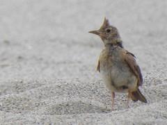 Cochevis huppé (chriscrst photo66) Tags: nikon wildlife nature ornithology ornithologie photography photographie plage leucate méditerranée cochevishuppé oiseau animal bird