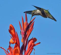 Ruby Throated Hummingbird (Arvo Poolar) Tags: outdoors ontario canada scarborough rosettamcclaingardens arvopoolar nikond500 nature naturallight natural naturephotography inflight wings flowers bird