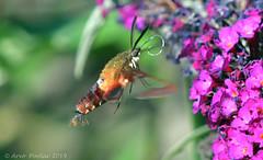 Clear Winged Hummingbird Moth   14 (Arvo Poolar) Tags: outdoors ontario canada scarborough rosettamcclaingardens arvopoolar nikond500 nature naturallight natural naturephotography clearwingedhummingbirdmothcaterpillar wings flowers inflight insect