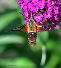 Clear Winged Hummingbird Moth   7 (Arvo Poolar) Tags: outdoors ontario canada scarborough rosettamcclaingardens arvopoolar nikond500 nature naturallight natural naturephotography clearwingedhummingbirdmothcaterpillar wings flowers inflight insect