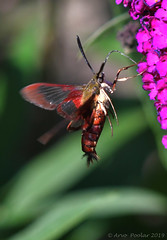 Clear Winged Hummingbird Moth   2 (Arvo Poolar) Tags: outdoors ontario canada scarborough rosettamcclaingardens arvopoolar nikond500 nature naturallight natural naturephotography clearwingedhummingbirdmothcaterpillar wings flowers inflight insect