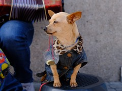 Work like a dog (trullez) Tags: porto chihuahua animal animalatwork money