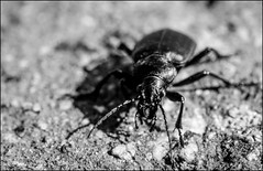 DR120328_036Ab (dmitryzhkov) Tags: life moscow russia wildlife documentary reproduction selection caterpillar insect macro closeup macrophotography nature bw blackandwhite monochrome dmitryryzhkov beetle coleoptera beetles analog film biosphere