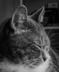 sleepy... (marinachi) Tags: bw cat candid closeup pet sundaylights catmoments cof076babe cof076dmnq