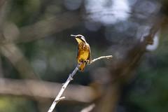 Martin pêcheur (patrickparsol) Tags: martinpêcheur oiseau eau auvergne puydedôme