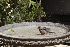 20190814 House Finch in the Birdbath (Dolores.G) Tags: 365the2019edition 3652019 day226365 14aug19