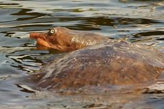 3S5X1054 Soft Shell Turtle (Eileen Fonferko) Tags: turtle reptile softshellturtle nature wildlife
