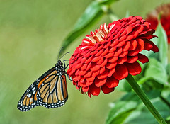 From the Garden (smiles7) Tags: monarch butterfly zinnia