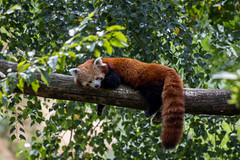 Red Panda (nato.irfan) Tags: red panda canon 77d 70300mm green branches animal