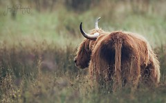 Highland Cow... (jameskearsley1) Tags: highlandcows highland cows cattle fluffy cute beautiful staveleynaturereserve naturephotography naturephotographer nature wildlifephotographer wildlifephotography wildlife capture shot closeup atmospheric moody nikonphotography nikon nikond3300 tamron150600mm tamron