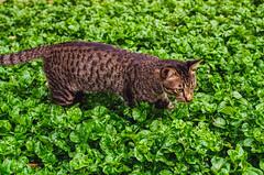 Hunting (Thanathip Moolvong) Tags: nikon fe 50mm f14 ais kodak plus 200 negative film cat hunting gato meow