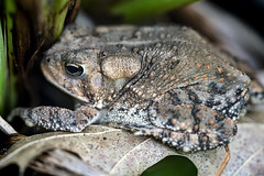Little Yard Toad Macro (Steve Holsonback) Tags: sony a7rii fe 90mm f28 macro g oss yard toad