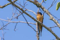 Barn Swallow (NikonDigifan) Tags: barnswallow bird birdwatching idaho priestlake cavanaughbay nature naturephotography naturesfinest wildlife wildlifephotography nikond850 nikon nikon20050056 pacificnorthwest mikegassphotography
