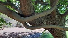 Fruitless Mulberry (twm1340) Tags: tree limb branch curved morusalba