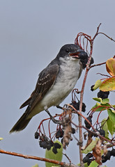 'Berry delightful (Snixy_85) Tags: kingbird easternkingbird