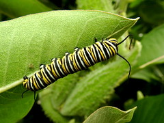 Monarch Caterpillar, Danaus plexippus (2) (Herman Giethoorn) Tags: monarch caterpillar larva insect milkweed