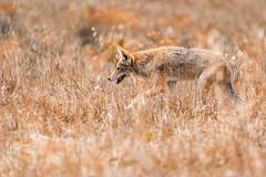 Coyote 152 (lennycarl08) Tags: coyote animalplanet wildlife pointreyesnationalseashore