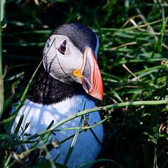Atlantic Puffin (Steve Liffmann) Tags: atlanticpuffin iceland