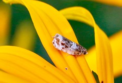 Today's bugs (REGOR NOTPUL) Tags: caterpillar monarch drone fly grasshopper skipper ambush bug