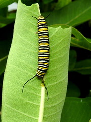 Monarch Caterpillar, Danaus plexippus (5) (Herman Giethoorn) Tags: monarch caterpillar larva insect milkweed